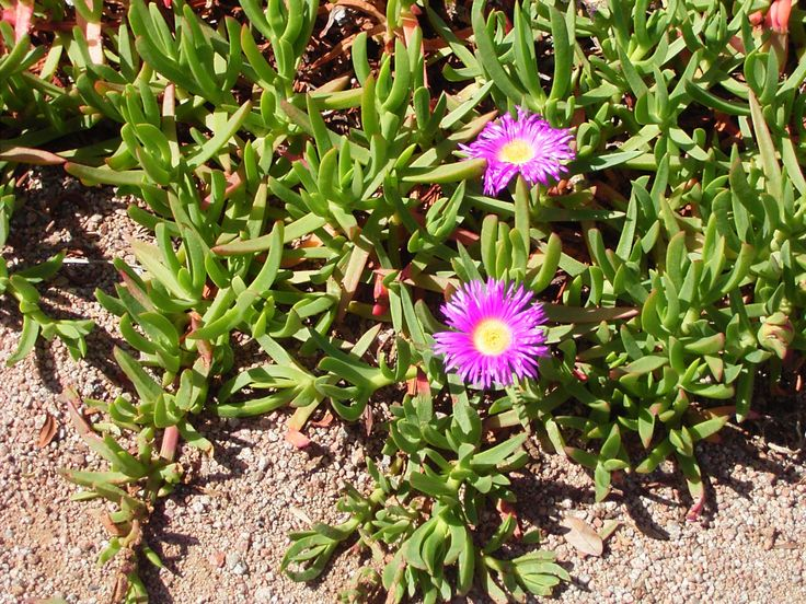 Pigface is a low growing evergreen groundcover with thick for Low growing plants for flower beds