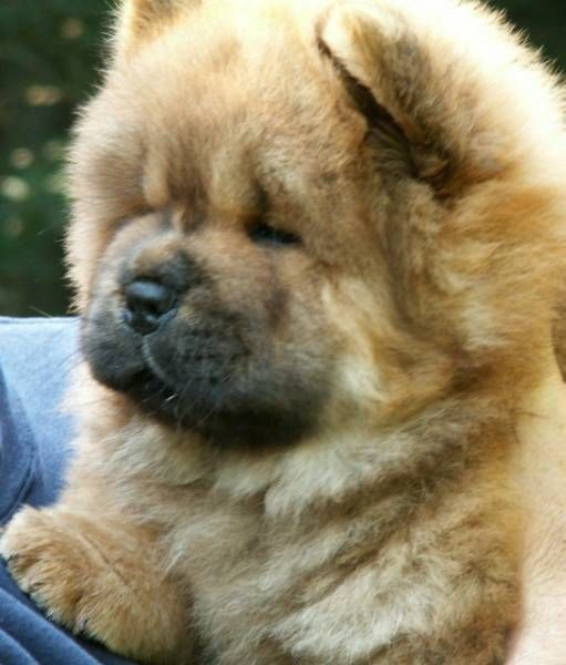 All I want for Christmas is a chow chow puppy, preferably a black one Awww lol