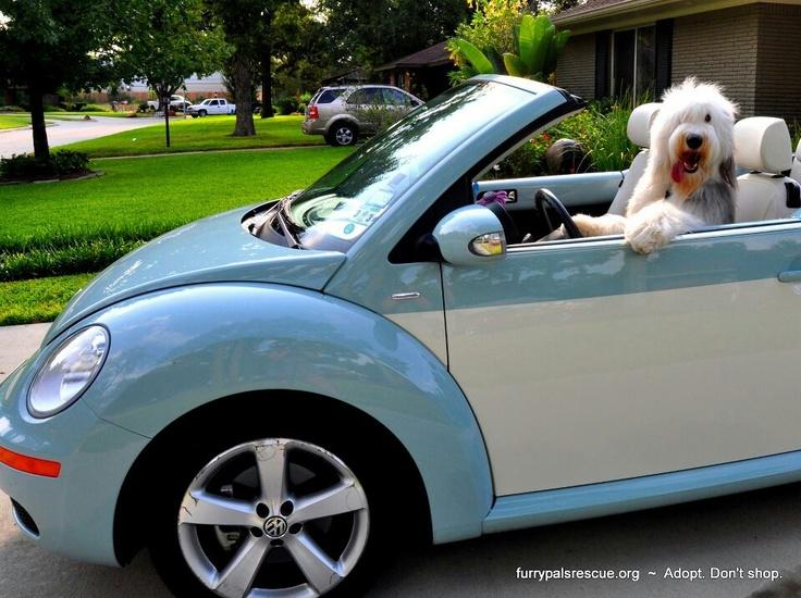 Slug Bug Blue | Volkswagen Beetles | Cars, Dogs, Motorcycle campers