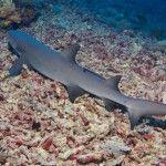 White Tip Shark at Tubbataha