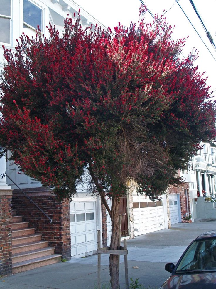 Leptospermum Scoparium Shared Driveway