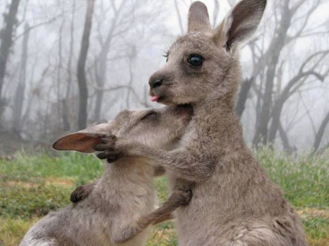 two adorable kangaroos hugging
