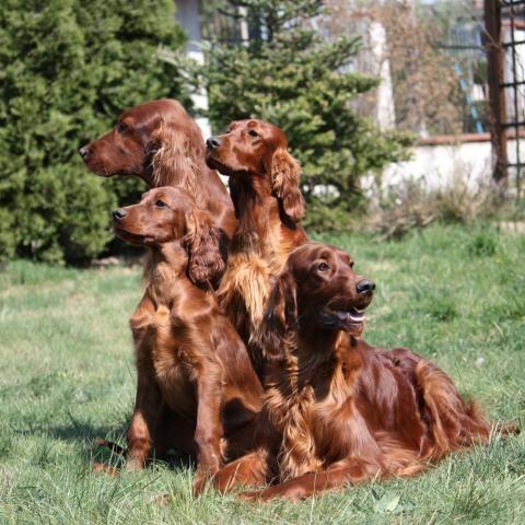 Setter irlandais rouge - L'avis du vétérinaire - Choisir son chien