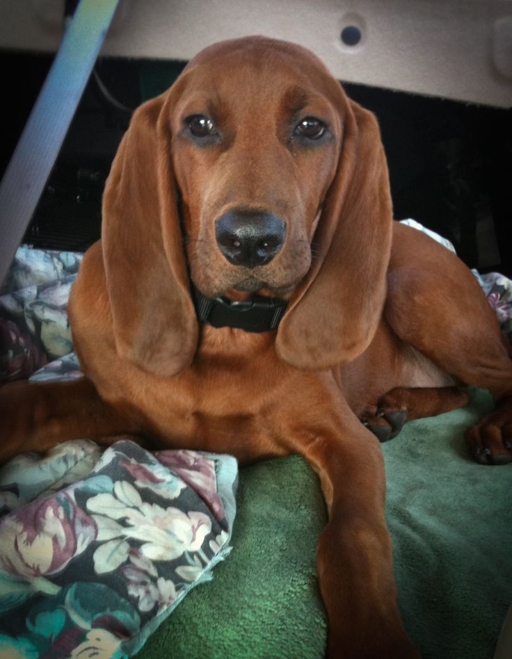 Bentley - Redbone Coonhound - 02! LOOKS JUST LIKE MY BABY-(DAISY)!!!