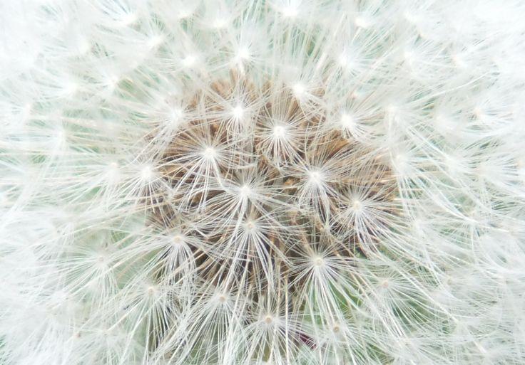 dandelion fluff (by Pingwynne)