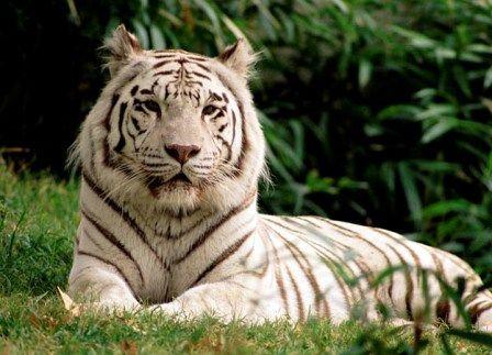 tigre de bengala blanco o albino