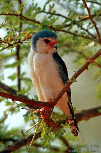 African Pygmy Falcon by Andrew Skelton Photography http://andrewskelton.net.