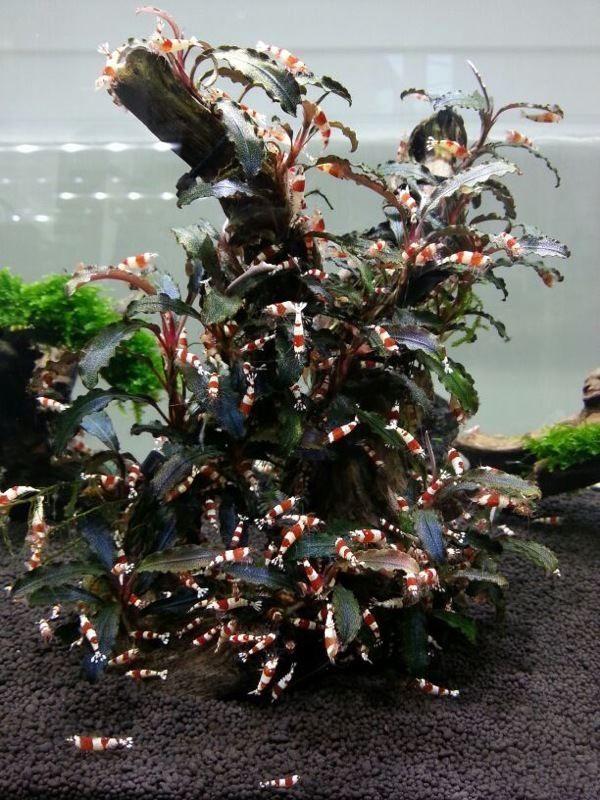 21 best sulawesi shrimp tank images on pinterest fish for Shrimp fish tank