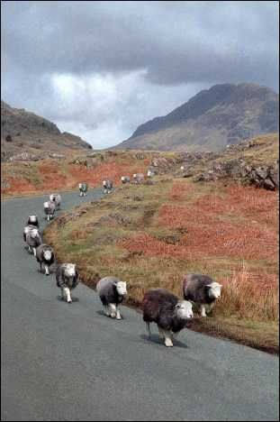 Herdwick sheep in Lake District - I love how they're (almost) all playing follow-the-leader