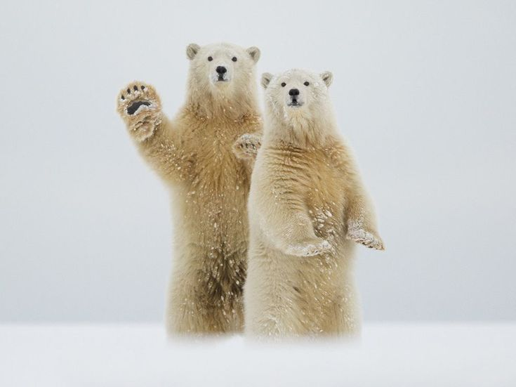 "Well, Hello There  Photograph by Laura Keene, National Geographic Your Shot  ""It was a surreal experience to be in the presence of these magnificent creatures,"" writes Your Shot member Laura Keene of photographing this seemingly approachable pair of bears in Alaska's Arctic National Wildlife Refuge. Keene says they stood and appeared to wave in greeting when a nearby pair of cubs captured their attention. Polar bears, she says, ""congregate on the barrier islands off Kaktovik in northern"