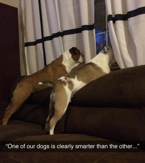 That is totally my two brilliant dogs.One of them with understand and one of them will fail to understand.(on many things)They are crazy but I still love them to death!!!They got haircuts and one of them has a Mohawk I love it!!!!!!!