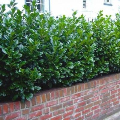 25. Prunus laurocerasus 'Novita' - Babérmeggy