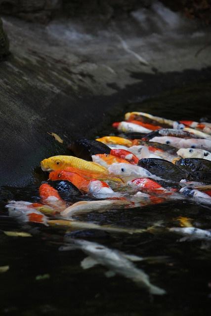 140 best beautiful koi fish images on pinterest pisces for Japan koi wild
