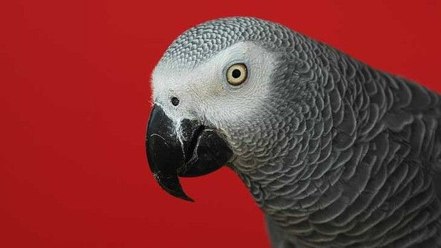 The African grey parrot outperforms all animals - apart from great apes - in some intelligence tests.African Grey Parrot