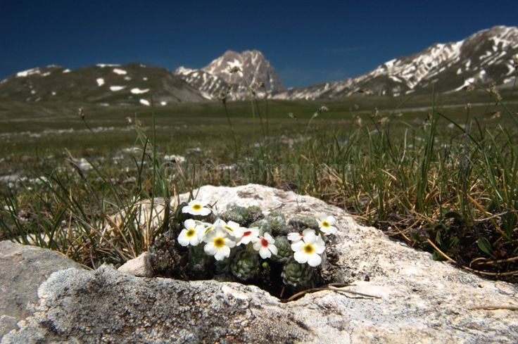 Little plant of Androsace villosa in the Campo Imperatore highlands – Gran Sasso National Park.