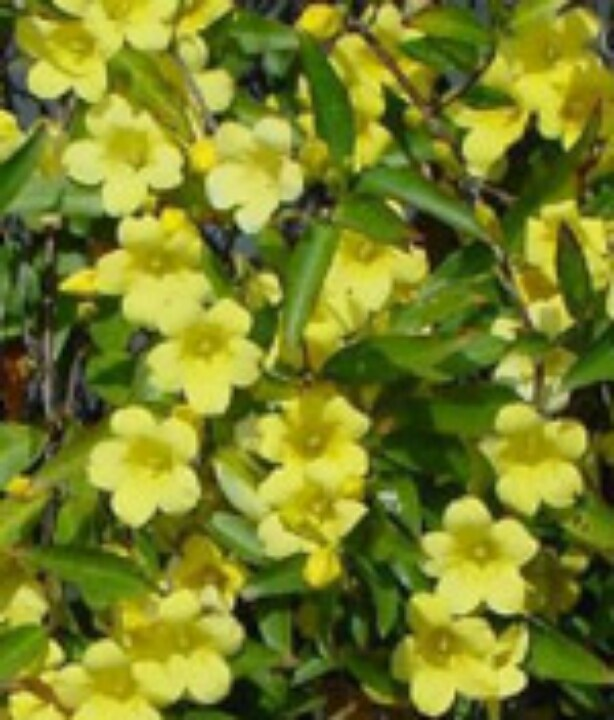 Yellow jessamine-SC state flower