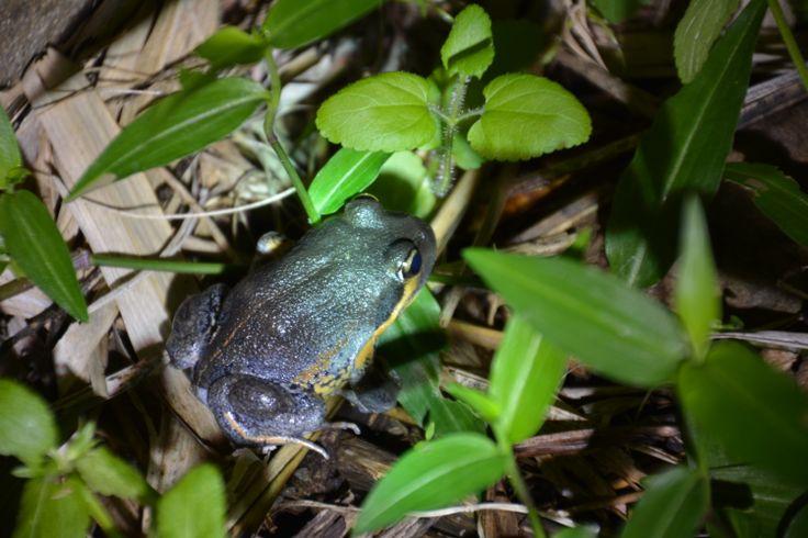 Pobblebonk Frog - Seen 30/5/2014 at night.