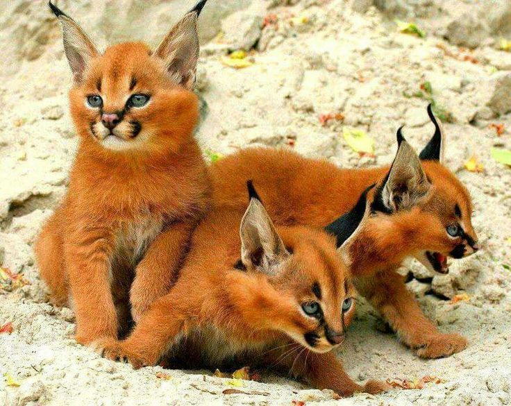 Caracas kittens Caracal kittens, Wild cats, Cute animals