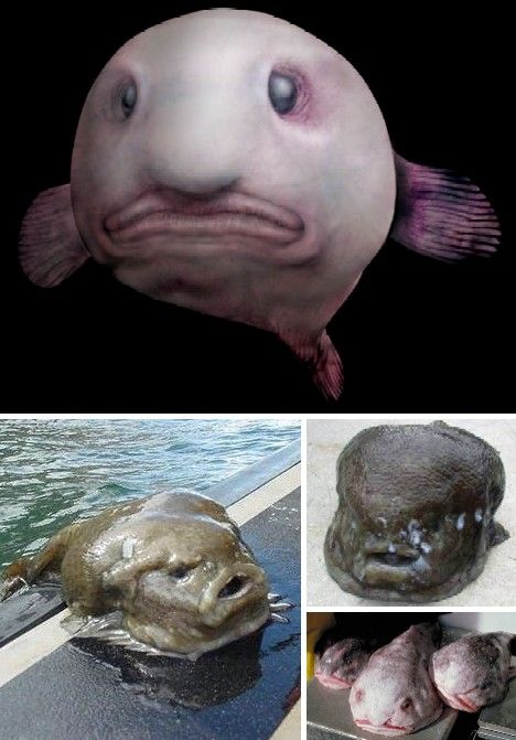 The Blobfish (Psychrolutes marcidus) | Finding nemo ...