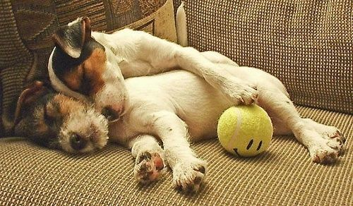 Jack Russell Terriers after the game