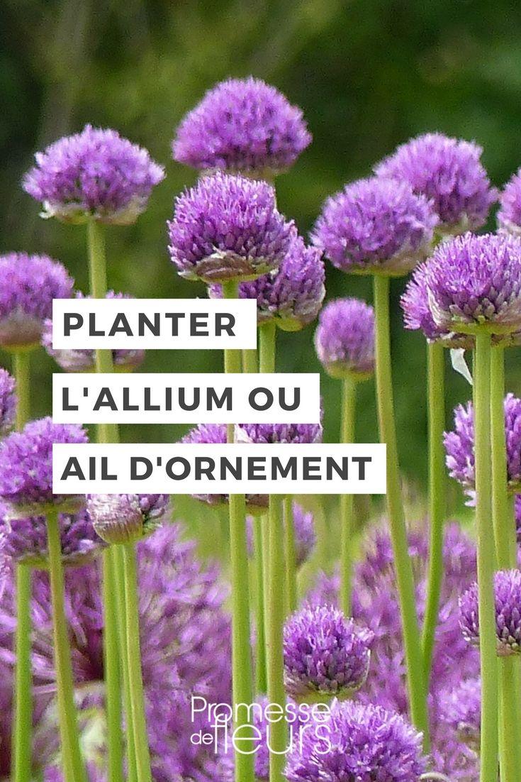 Planter des alliums