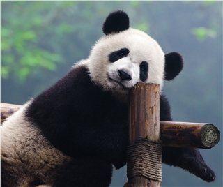 Panda Volunteer Program