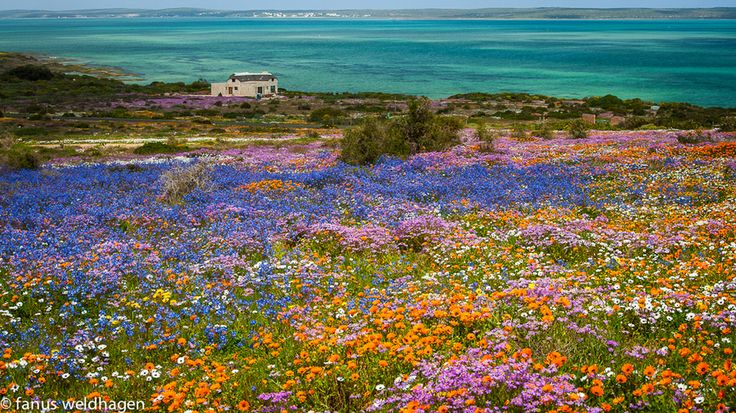 The Langebaan lagoon near Saldannah on the west coast of South Africa is fringed by a mass of flowers after particularly good winter rains.