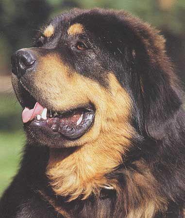 Races de chiens: Dogue du Tibet - Frawsy