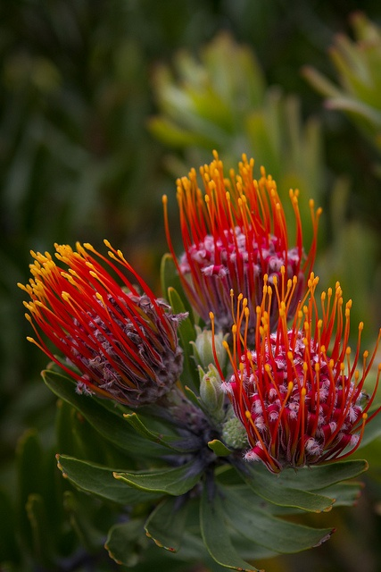 Proteas at Kirstenbosch Botanical Gardens by ZoeShuttleworth, via Flickr