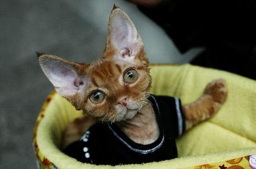 OMG!  Extra cute ear-age!!!: Big Cat, Dear God, Head Size, Shirts, The Edge, Huge Ears, Mr. Big, Devon Rex Kittens, Devon Rex Cat