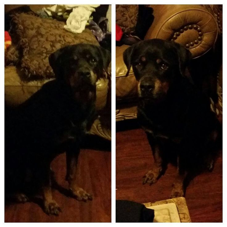 Kara is in need of surgery she is a well loved rottweiler hoping for a chance to live longer she is loved by a pet loving family who is full of pet lovers that have acted as a foster home to other animals in need https://www.youcaring.com/pet-expenses/kara-s-uterus-infection-surgery/275291