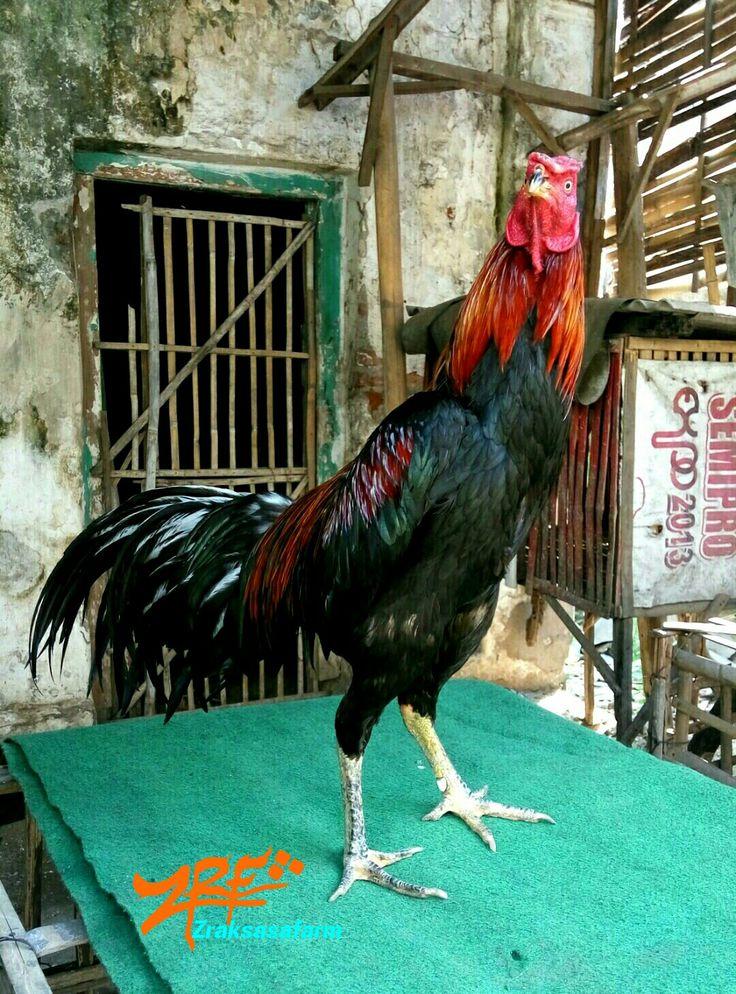 Ayam birma rooster probolinggo Ayam