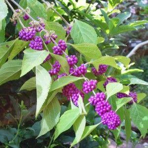Callicarpa bodinieri 'Profusion' feuillage caduc mais baies violettes persistantes
