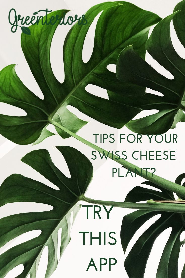 Download The Greenteriors App For Tips To Maintain Your Swiss Cheese Plant Monstera Swisscheeseplant Houseplants In Plant Wallpaper Leaf Art Plant Pictures