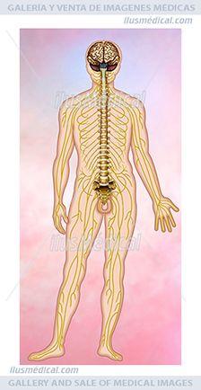 El sistema nervioso humano. El sistema nervioso es una red cuya unidad ....