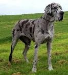 Yep. That is my next pooch. A blue merle Great Dane. Love them! Such gorgeous dogs!