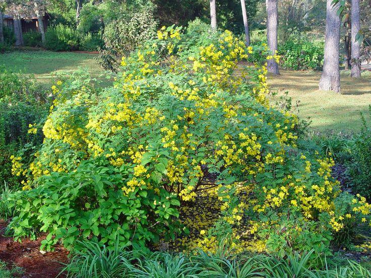 Cassia bicapsularis Οικογένεια: Fabaceae    Κατηγορία: Ημιαειθαλής θάμνος ή μικρό δένδρο Ύψος: 3,5μ  Ρυθμός ανάπτυξης: Γρήγορος Άνθη: κίτρινα Άρωμα: Όχι Περίοδος ανθοφορίας: από το φθινόπωρο μέχρι το χειμώνα ή και νωρίς την άνοιξη