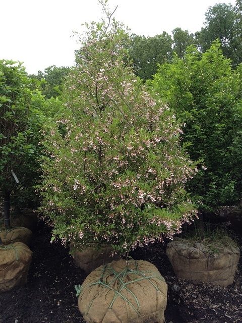 Japanese Snowbell Pink Chimes Styrax Japonicus 15 25