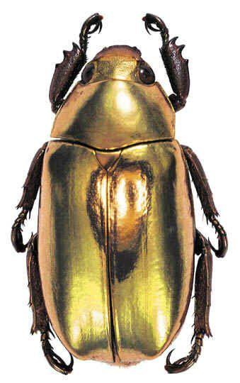 """The Gold Bug"" Chrysina resplendens - Costa Rica and Panama"