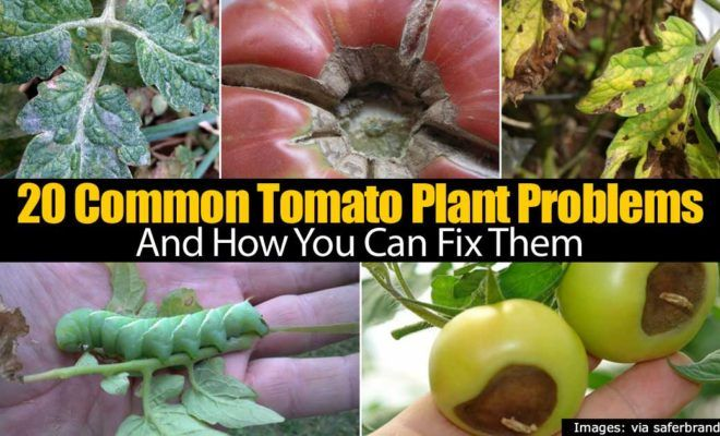 20 Common Tomato Plant Problems and How to Fix Them – American Tomato Growers Association