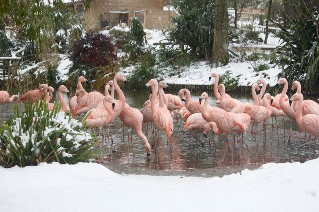 Flamingoes looking very majestic against the snow