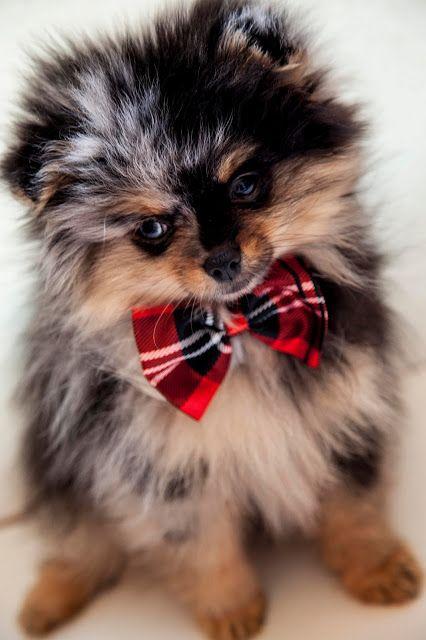 Blue Merle Pomeranian Puppy Dogs Pom Pom