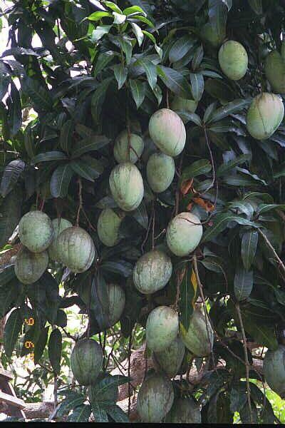 Jamaican fruits - mango.