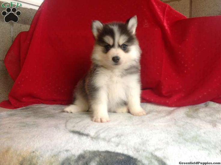 Domino pomsky puppy for sale from fredericksburg oh