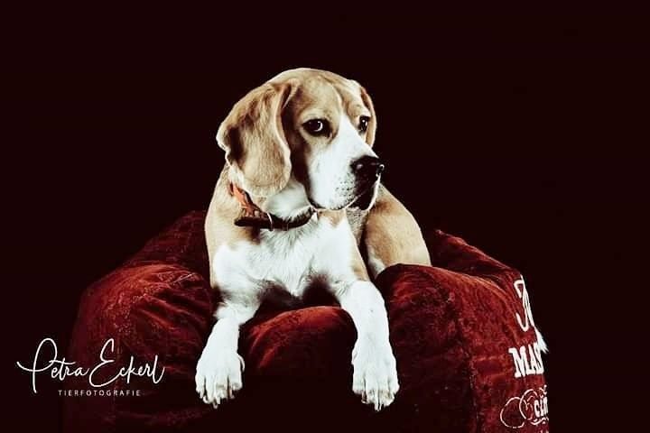 Studioshot Hunde Hundefotografie Tiere