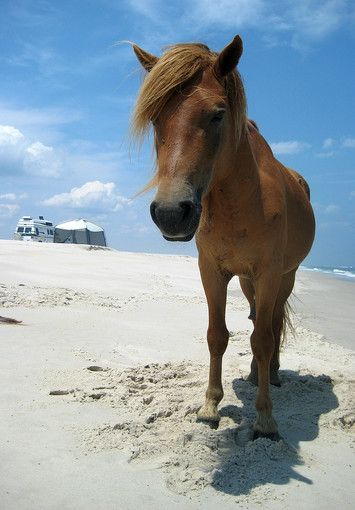 100 day trips from Baltimore: Assateague Island National Seashore