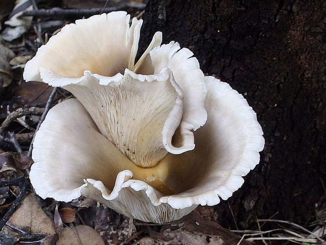 Ghost Mushrooms in Daylight (Image:Cas Liber, Wikipedia)