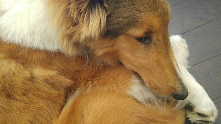 Rough collie  5 months