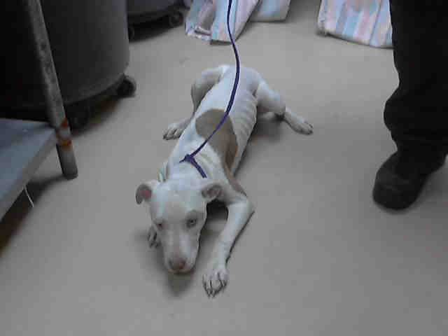 URGENT!!!! ...HOUSTON, TEXAS...Pitbull mix. This is a pretty sad picture! Please share her! PetHarbor.com: Animal Shelter adopt a pet; dogs, cats, puppies, kittens! Humane Society, SPCA. Lost & Found.