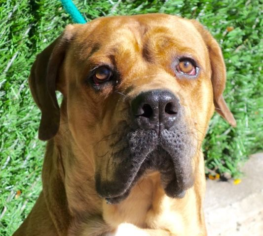 SAFE    yori3_a1090940***SAFER : EXPERIENCED HOME***  MALE, TAN, BULLMASTIFF MIX, 2 yrs STRAY – STRAY WAIT, NO HOLD Reason STRAY Intake condition EXAM REQ Intake Date 09/23/2016, From NY 10035, DueOut Date 09/26/2016,  Medical Behavior Evaluation YELLOW Medical Summary Scanned negative QARH Mild dental tartar Very ense and nervous Male intact Activyl applied for fleas prevention Nosf Weight 80.2